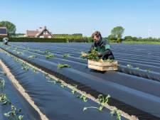 Thoolse boeren pionieren met zoete aardappel