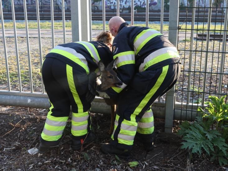 'Liefdevolle redding' van beklemde ree door brandweerlieden in Boxtel