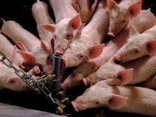 Varkenshouders 'zeer alert' op Afrikaanse varkenspest