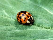 Lieveheersbeestjes ingezet tegen bladluis in Amerongen