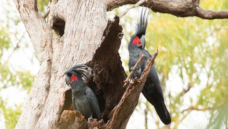 Een paar Australische zwarte kaketoes in de Noord-Australische jungle Beeld Christina N. Zdenek