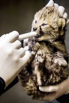 Beekse Bergen onthult geslacht jachtluipaardvijfling (fotoalbum)