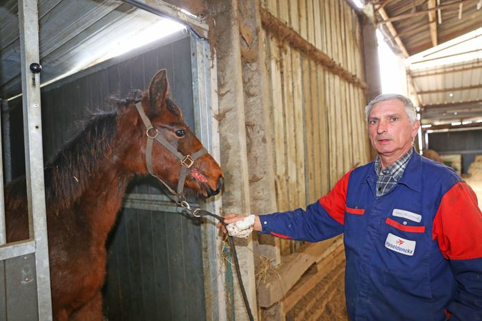 Marc Bellemans met een van de overlevende paarden. Het dier houdt een lelijke bijtwonde over aan de mond.