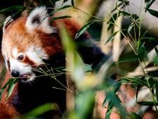 Rode panda overleden in DierenPark Amersfoort