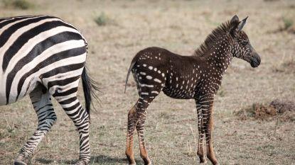 Gids spot heel bijzondere kleine zebra op Afrikaanse savanne