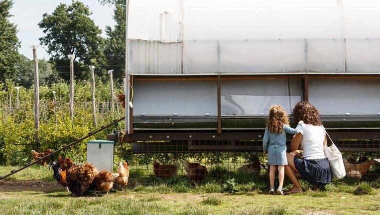In de Fruittuin van West kunnen de kippen scharrelen in zes hectaren boomgaard. Beeld Carly Wollaert