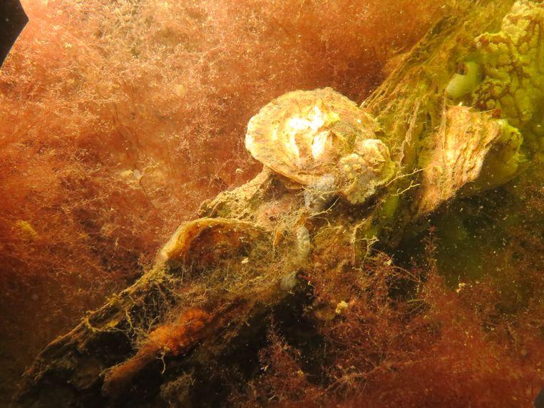 Twee kleine platte oesters op een grote Japanse oester. Beeld Bureau Waardenburg