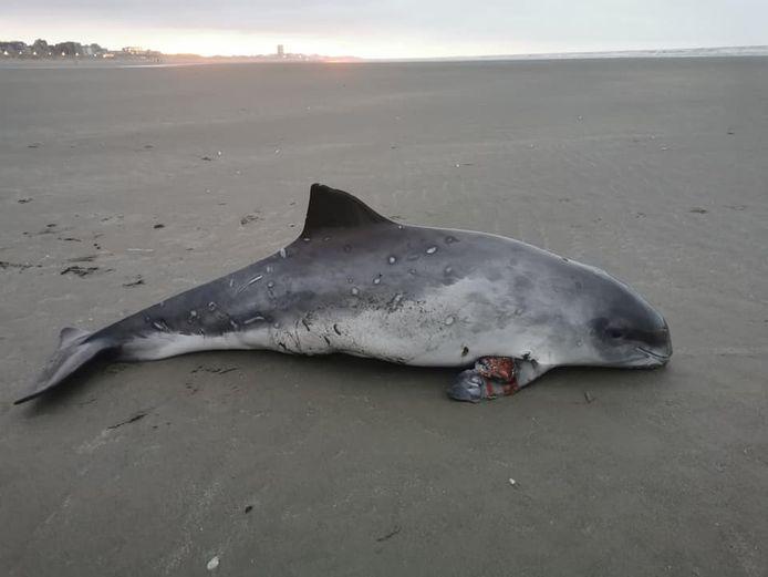 De bruinvis liep een infectie op aan de borstvin.