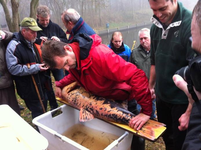 Jan Kamman van Sportvisserij Nederland meet de lengte van een karper.