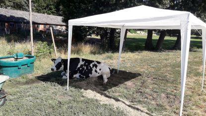 Zieke koe ligt in brandende zon en kan niet meer rechtkomen, boer zet een partytentje op