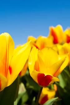 Noordoostpolder is opnieuw hét tulpengebied van Nederland