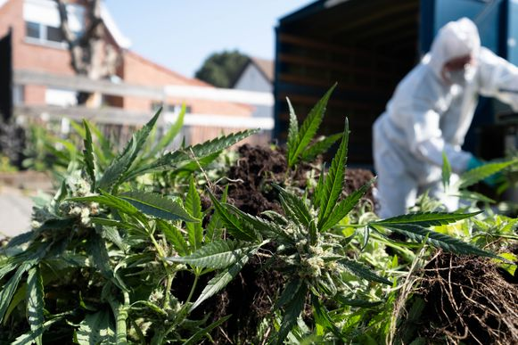 Cannabisplantage in Nijlen.