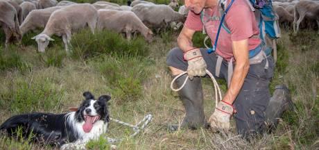 'Tante Deau' houdt 250 schapen in het gareel: 'Voor haar felle blik hebben ze ontzag'