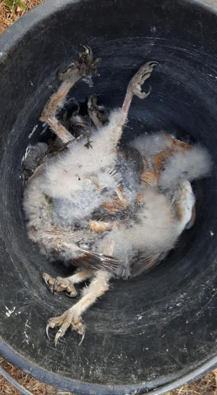 Een in het nest gestorven kerkuiltje.