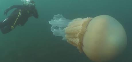 Deux plongeurs confrontés à une méduse de plus d'1,5 mètre dans la Manche