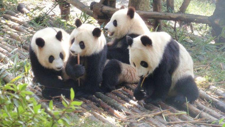 Panda's in het opvangcentrum in Chengdu Beeld Google Streetview