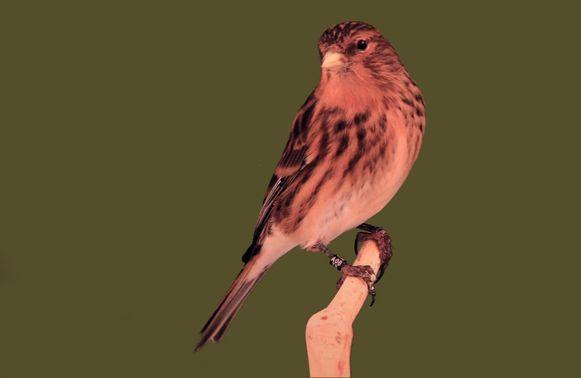 De gestolen vogel (beeld uit knipselmap).