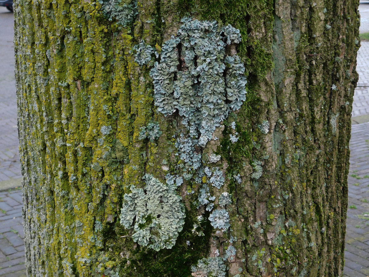 Op één boomstam vind je wel tien soorten korstmos in geel, grijs en groen.