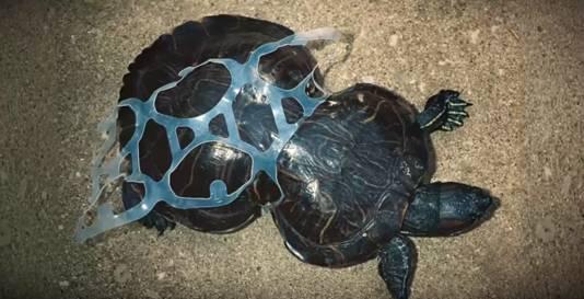 Schildpad met plastic verpakking om zijn schild.