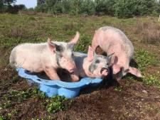 Wroetende varkens op Sprengenberg bij Haarle als alternatief voor machinaal plaggen