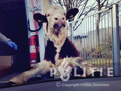 Agenten rijden 'dolle stier' klem met politiewagens