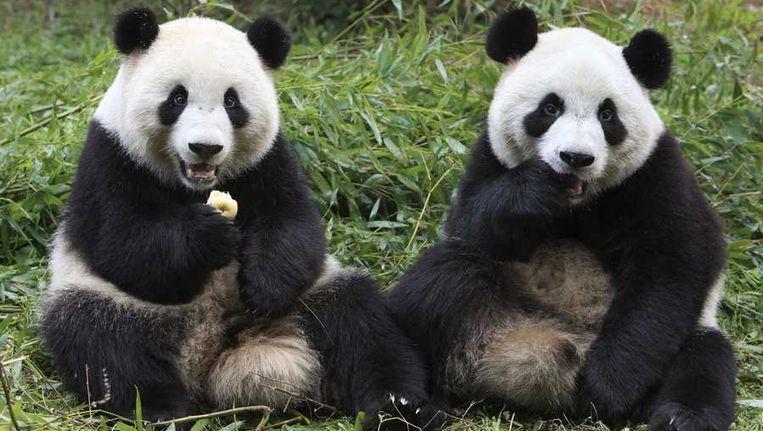 Twee panda's Beeld reuters