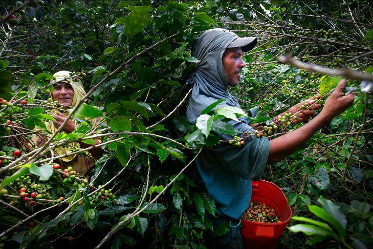Een Colombiaanse koffieboer is aan het werk met koffiebonen op zijn plantage.  Beeld ANP