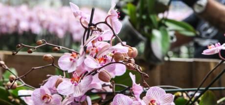 Primeur voor Nieuwaal: een orchideeën drive-in; hoe minder planten in de container, hoe beter