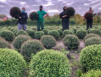 Leerlingen College ten Doorn kweken 1.000 chrysanten voor Allerheiligen