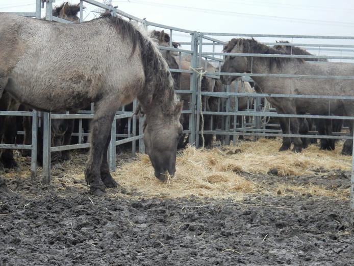 Konikpaarden in de vangkraal.
