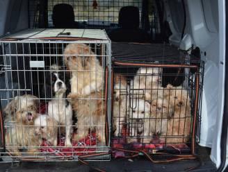'Hobbykweker' riskeert 3 maanden cel en monsterboete: 57 honden leven onverzorgd tussen uitwerpselen