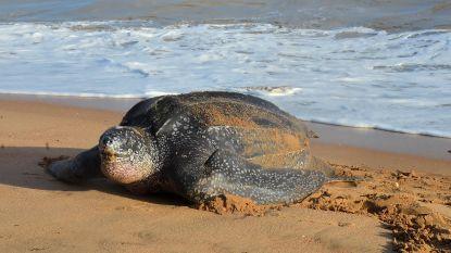 Uitzonderlijk: lederschildpad van één meter gespot voor de kust van Oostduinkerke