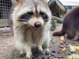 Nieuwe bewoners in wasberenverblijf Blijdorp