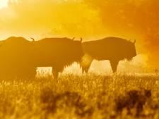 Uden neemt afstand van 'verkiezingsretoriek' VVD-Leefbaar Uden over grote grazers
