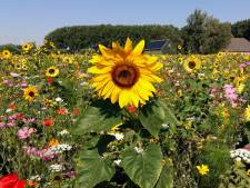 Dronebeelden boven Dubbeldam: kleurrijk veld vol bloemen