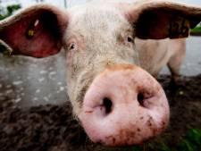 Nergens meer varkens dan in Nederland
