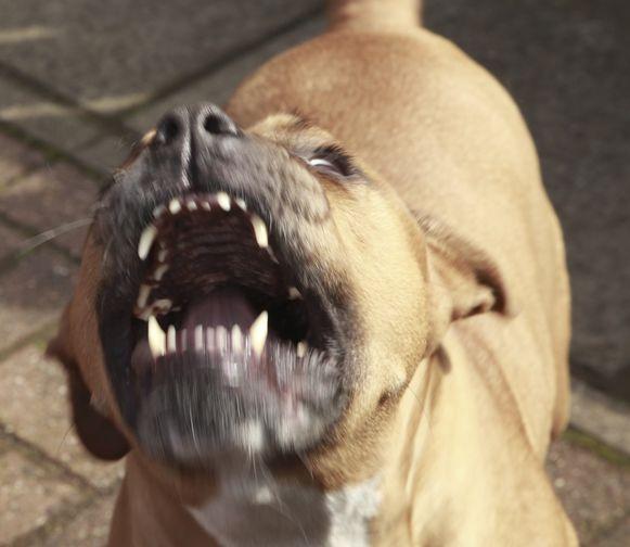 Een pitbull. Foto ter illustratie.