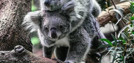 Baas WWF maakt zich ernstig zorgen: 'Koala gaat de orang-oetan achterna'