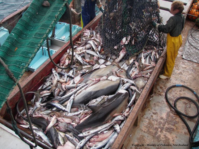 Dolfijnen als bijvangst in een vissersnet. Beeld ministerie van visserij nieuwzeeland