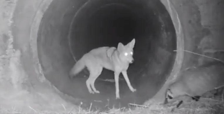 Coyote das