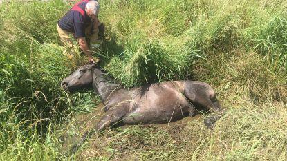 Paard overleeft val in gracht niet ondanks reddingsactie van drie uur