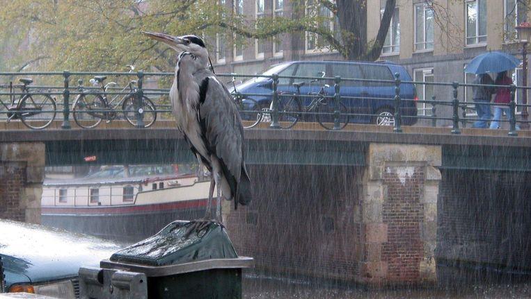 Een reiger op de Prinsengracht. Beeld anp