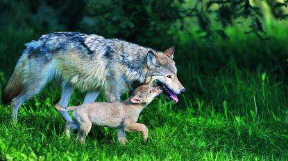 """WWF wil financiële en technische steun voor boeren: """"Mens en wolf kunnen samenleven"""""""
