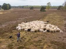 Herder Lammert is alleen met zijn schapen op 'extreem rustige' heide bij Heerde