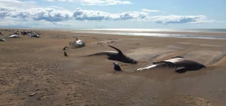 Tientallen dode grienden gespot op strand IJslands schiereiland