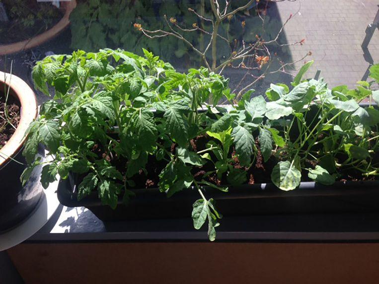 Bij Lidewij Kalfsterman groeien de plantjes goed. Vooral de cherrytomaten, broccoli, spinazie, rucola en wortel gaan hard. Beeld Lidewij Kalfsterman