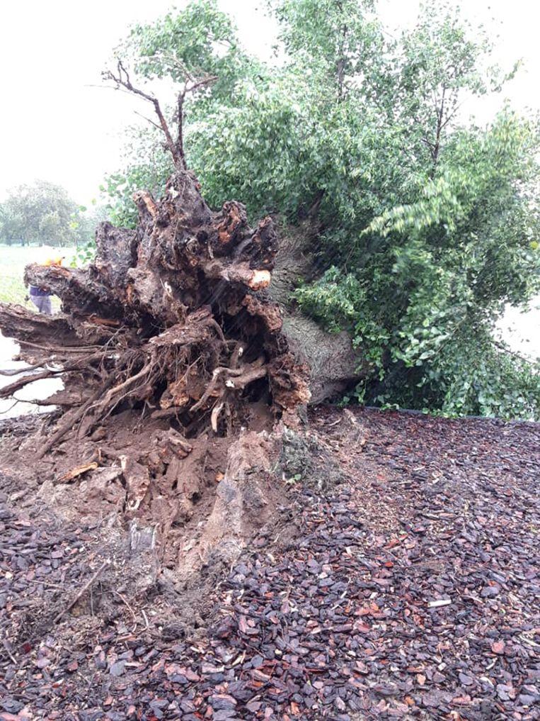 De lindeboom bleek uitgehold en rot