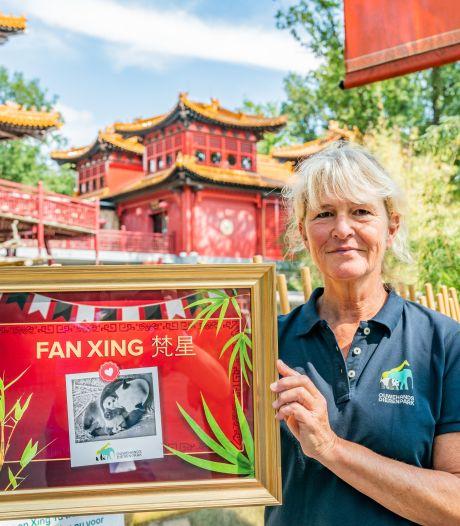 Verzorgster José Kok kijkt als ze 's nachts wakker wordt direct naar de livestream met pandababy Fan Xing