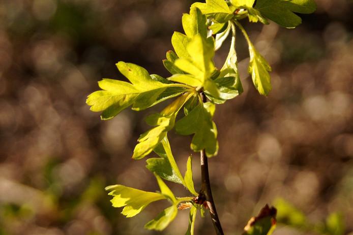 Speels zonlichtdoor het jonge groen van de meidoorn.