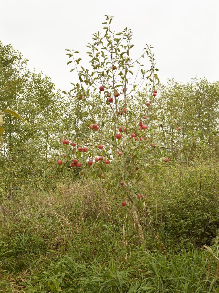 Ciderappelboom - 29 oktober. Beeld Henk Wildschut
